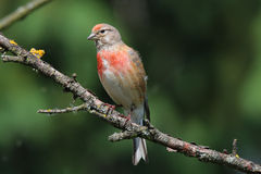 Carduelis cannabina sitting on a branch. Carduelis cannabina sitting on a dry twig Royalty Free Stock Images