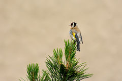 Carduelis carduelis Royalty Free Stock Images