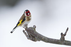 Carduelis carduelis, european goldfinch on a branch, winter, Vosges, France Stock Images