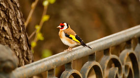 Carduelis carduelis Royalty Free Stock Photography
