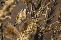 Goldfinch, Carduelis carduelis. A songbird. Carduelis carduelis, the Goldfinch is a beautiful songbird that likes to feed on thistles royalty free stock photo