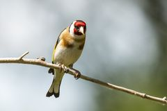 Goldfinch, Carduelis carduelis. A songbird. Carduelis carduelis, the Goldfinch is a beautiful songbird that likes to feed on thistles royalty free stock photography