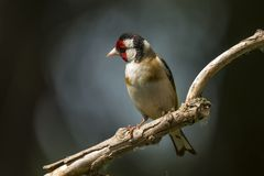 Goldfinch, Carduelis carduelis. A songbird. Carduelis carduelis, the Goldfinch is a beautiful songbird that likes to feed on thistles stock images