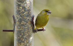 carduelis chlor greenfinch 免版税库存图片