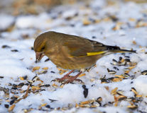 Carduelis chloris Stock Images