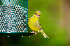 Carduelis chloris Royalty Free Stock Image