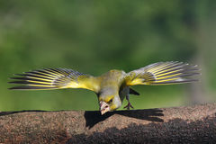 Carduelis chloris. Defender its territory Royalty Free Stock Photos