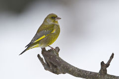 Carduelis chloris,  european greenfinch standing on a branch, Vosges, France Stock Photo