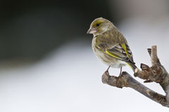 Carduelis chloris,  european greenfinch standing on a wooden branch, Vosges, France Royalty Free Stock Images