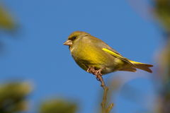 carduelis chloris europejczyka greenfinch Fotografia Stock
