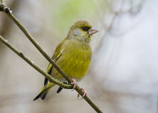 carduelis chloris greenfinch Obraz Royalty Free