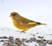 Carduelis chloris - Greenfinch. Stock Photos