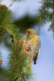 Carduelis chloris, Greenfinch Royalty Free Stock Photo