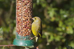 carduelis chloris greenfinch Fotografia Stock
