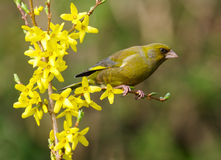 carduelis chloris greenfinch Fotografia Stock