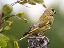 Carduelis chloris, Greenfinch Obrazy Royalty Free