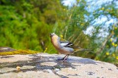 Carduelis chloris, Greenfinch Zdjęcie Royalty Free