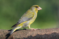 Carduelis chloris. Waiting on a branch near the water Stock Image