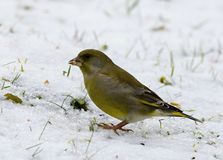 Carduelis chloris - Winter welcome. Parus major sits on a branch and poses, welcomes winter Royalty Free Stock Image