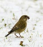 Carduelis Chloris - Winterwillkommen lizenzfreies stockbild