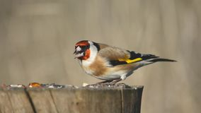 Carduelis del carduelis del cardellino che si siede sull'alimentatore dell'uccello di inverno stock footage
