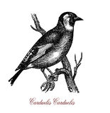 Carduelis of the finch family, wildlife vintage engraving Stock Photo