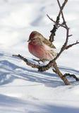 Carduelis flammea 公红弱鸟在反对雪的冬天 免版税库存照片