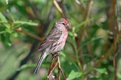 Carduelis flammea Die männlichen Vögel sind gemeine Redpolls lizenzfreies stockbild
