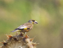 Carduelis sinica Royalty Free Stock Photography