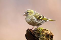 Carduelis spinus female. On branch Stock Image