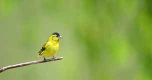 Carduelis spinus Royalty Free Stock Images