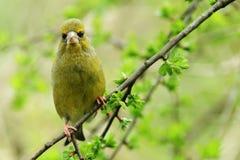 carduelischlorisgreenfinch Arkivbilder