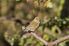 carduelischlorisgreenfinch Royaltyfria Foton