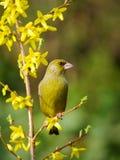 carduelischlorisgreenfinch Arkivfoto
