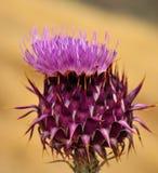 Carduelium selvaggio attraente del onopordum del cardo selvatico in piena fioritura Fotografie Stock