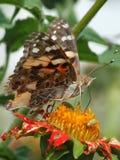 cardui夫人被绘的蛱蝶 库存图片