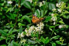 Cardui της Vanessa γνωστό ως χρωματισμένη γυναικεία πεταλούδα στο άσπρο λουλούδι στοκ εικόνες