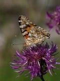 Cardui de Vanesa de la mariposa fotografía de archivo libre de regalías