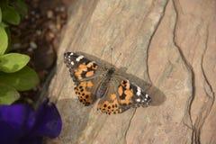 Cardui de vanessa de papillon Image libre de droits