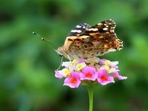 Cardui della vanessa della farfalla Fotografia Stock Libera da Diritti