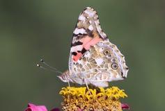 Cardui van vlindervanessa Royalty-vrije Stock Afbeelding