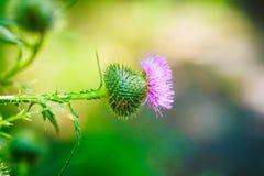 Carduus ή plumeless κινηματογράφηση σε πρώτο πλάνο λουλουδιών κάρδων πορφυρή στο υπόβαθρο αγκαθιών Στοκ φωτογραφία με δικαίωμα ελεύθερης χρήσης