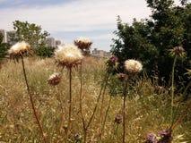 Carduus ξηρό Στοκ Φωτογραφία