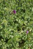Carduus acanthoides Lizenzfreies Stockfoto