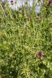 Carduus acanthoides Stockfoto