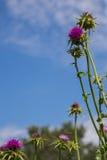 Carduus acanthoides Stockfotos