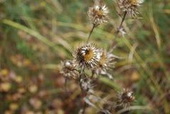 Carduus acanthoides, bekannt als stachelige plumeless, welted, oder Weg-Distel, ist Spezies einer zweijährigen Pflanze der Distel Lizenzfreies Stockfoto