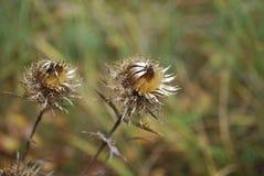 Carduus acanthoides, bekannt als stachelige plumeless, welted, oder Weg-Distel, ist Spezies einer zweijährigen Pflanze der Distel Lizenzfreie Stockfotografie