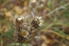 Carduus acanthoides, bekannt als stachelige plumeless, welted, oder Weg-Distel, ist Spezies einer zweijährigen Pflanze der Distel Lizenzfreie Stockbilder