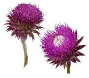 Carduus acanthoides Blume Lizenzfreies Stockbild